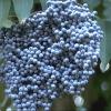 เอลเดอร์เบอร์รี่สีฟ้า ซองละ 5 เมล็ด