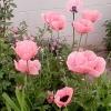 ดอกป็อปปี้โอเรียนเต็ล คละสี - Oriental Poppy Flower Mix