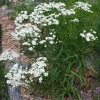 ดอกสร้อยเงิน - Upland White Goldenrod