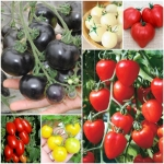 มะเขือเทศ - Tomato Seeds