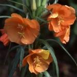 อีฟนิ่งพริมโรสสีส้ม ซองละ 10 เมล็ด