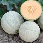 เมล่อน แคนตาลูป - Melon Cantaloupe