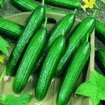 แตงกวา - Cucumber Seeds