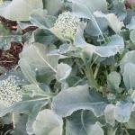 บล็อคโคลี่ดิชิคโค่ - Di Cicco Broccoli
