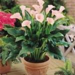 พืชสด ต้นไม้ - Live Plant