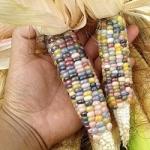 ข้าวโพด - Corn Seeds
