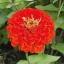 ดอกบานชื่นสีแดง 15 เมล็ด/ชุด thumbnail 1