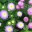 ดอกแอสเตอร์ - Aster Flower Mix thumbnail 2