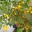 พริกไบควินโฮสีเหลือง - Yellow Biquinho Pepper thumbnail 3