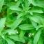 หญ้าหวาน - Stevia rebaudiana thumbnail 1