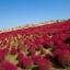 หญ้าเบิร์นนิ่ง บุช โคเชีย(Kochia) thumbnail 1