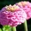 ดอกบานชื่นสีชมพู ซองละ 15 เมล็ด thumbnail 1