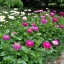 (Whole 1 Oz) ดอกบานชื่น คละสี - Mixed CA Zinnia Flower thumbnail 2