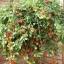 มะเขือเทศทรัมบลิ้งทอมสีแดง - Red Tumbling Tom Tomato F1 thumbnail 2
