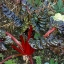 รูบี้เรด สวิสชาร์ด 20 เมล็ด/ชุด thumbnail 1