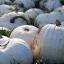 ฟักทองขาว แคสเปอร์ ซองละ 2 เมล็ด thumbnail 1