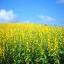 ปอเทือง - Sunhemp Flower thumbnail 4