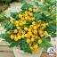 มะเขือเทศปาติโอ้ช้อย - Patio Choice Tomato F1 thumbnail 1