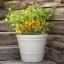 พริกไบควินโฮสีเหลือง - Yellow Biquinho Pepper thumbnail 1
