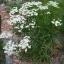 ดอกสร้อยเงิน - Upland White Goldenrod thumbnail 1