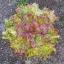 ผักสลัด ไพซ์เฮด - Prize Head Lettuce thumbnail 1