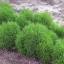 หญ้าเบิร์นนิ่ง บุช โคเชีย(Kochia) thumbnail 2