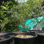 ต้นมะนาวคาเวียร์ เสียบยอด ไซค์ L