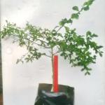 ต้นมะนาวคาเวียร์ เสียบยอด ไซค์ M