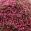 sponge powder สีผสม เขียว-ชมพู 20 กรัม thumbnail 2