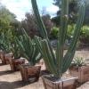 Cereus repandus (50 seeds)