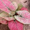 ต้นบอนสี ลูกไม้ชมพู ขนาดกระถาง5-6นิ้ว