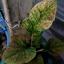 ต้นบอนสี ลูกผสมใหม่ 001,New hybrids from seeds There is only one, the price 157 USD thumbnail 4