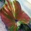 หัวบอนสี เทพนาคา thumbnail 1