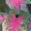 ต้นบอนสี ชำป่างาม ขนาดกระถาง6นิ้ว thumbnail 1