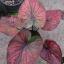 ต้นบอนสี เทพอารีย์ ขนาดกระถาง6นิ้ว thumbnail 1