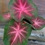 ต้นบอนสี จ.พัทลุง ขนาดกระถาง5-6นิ้ว thumbnail 1
