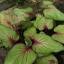 ต้นบอนสี สาววาริน ขนาดกระถาง4นิ้ว thumbnail 1