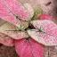 ต้นบอนสี ลูกไม้ชมพู ขนาดกระถาง5-6นิ้ว thumbnail 1