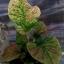 ต้นบอนสี ลูกผสมใหม่ 001,New hybrids from seeds There is only one, the price 157 USD thumbnail 2