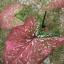 ต้นบอนสี โคบุตร ขนาดกระถาง6นิ้ว thumbnail 1