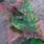 ต้นบอนสี ด่างเกยชัย ขนาดกระถาง6นิ้ว thumbnail 1