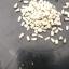 เมล็ดบอนสี คละสายพันธุ์ 100 เมล็ด / Caladium seeds Mixed species .100 seeds. thumbnail 4