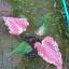หัวบอนสี ฮกหลง ขนาด1.5cm ขึ้นไป thumbnail 2