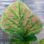 ต้นบอนสี ลูกผสมใหม่ 001,New hybrids from seeds There is only one, the price 157 USD thumbnail 3