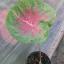 ต้นบอนสี บานชื่น thumbnail 1
