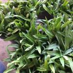 หญ้าปักกิ่ง (Angel grass)