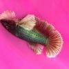 ปลากัดคัดเกรดหูช้างครีบสั้นตัวเมีย - Female Halfmoon Plakad Big Ear Lavender Premium Quality Grade
