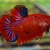 ปลากัดคัดเกรดครีบสั้น - Halfmoon Plakad Red Koi Premium Quality Grade