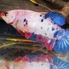 ปลากัดคัดเกรดครีบสั้นตัวเมีย - Female Halfmoon Plakad Fancy Marble Premium Quality Grade