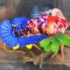 ปลากัดคัดเกรดครีบสั้นตัวเมีย - Female Halfmoon Plakad Fancy Galaxy Premium Quality Grade